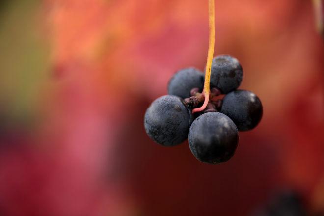 uvas vinedo