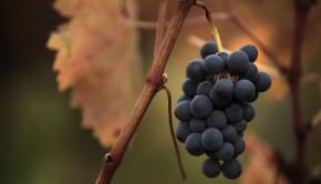 variedades-uva-mundo