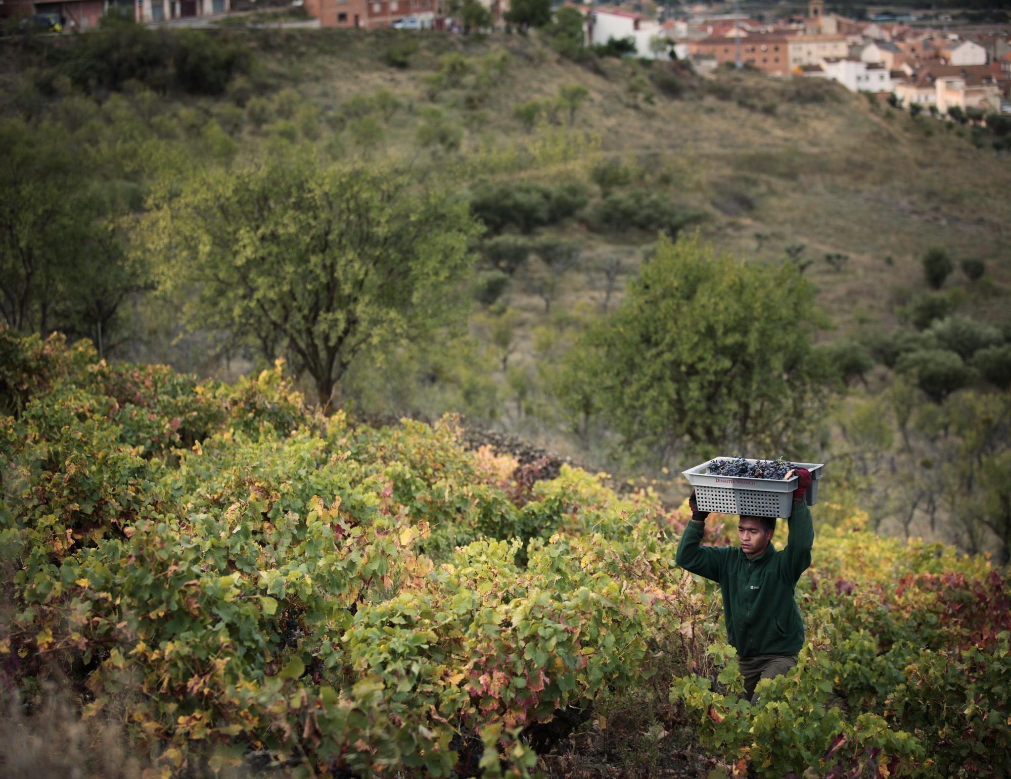recoleccion uva hombre