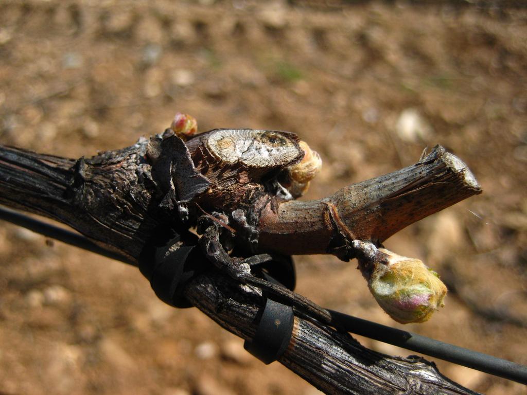 Brotación viñedo