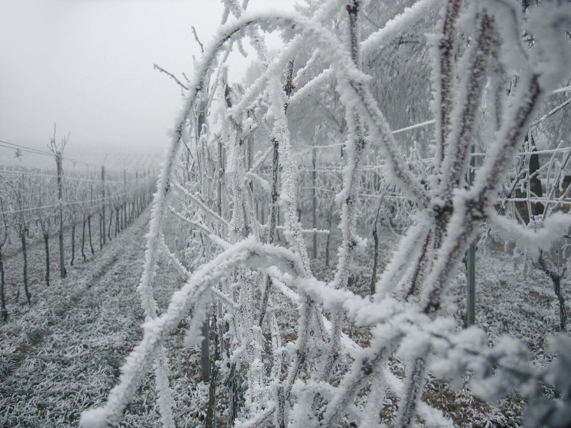 ice-wines