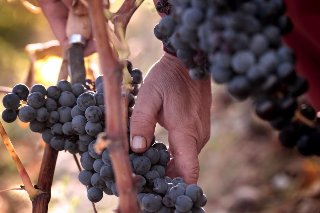 mano uva rama