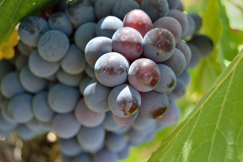uvas rojas toscana racimo