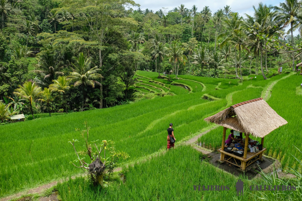 arrozal campo verde