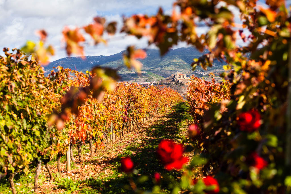Viñedos en otoño en Vivanco