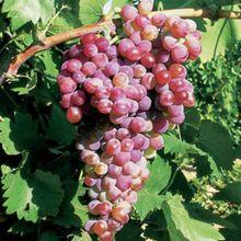 Jard n de baco variedades de uva y viticultura vivanco - Variedades de uva de mesa ...